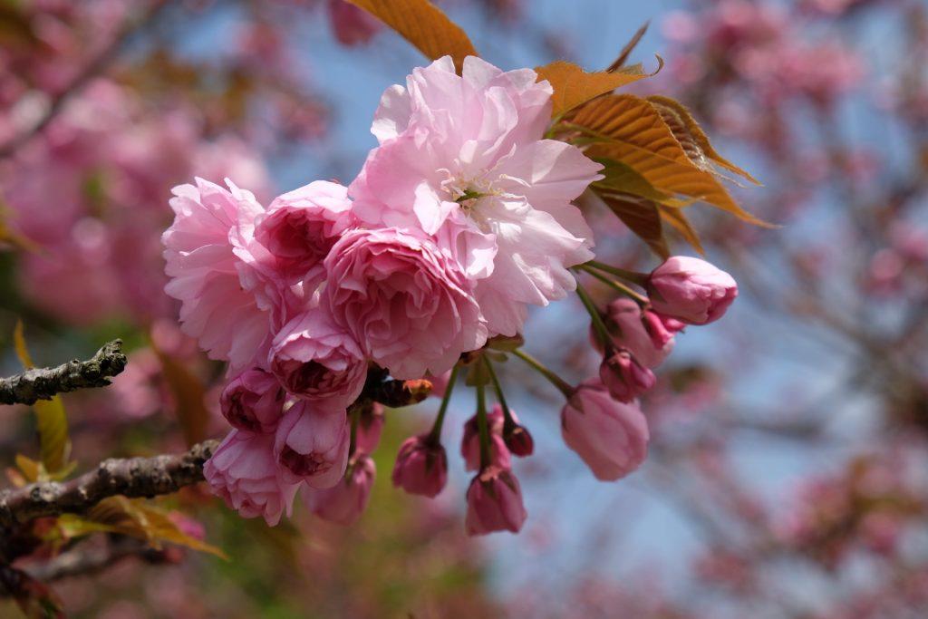 Cherry Blossom in South Osaka