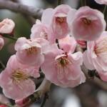 Sakura - 01