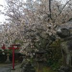 Matsue_Inu_Sakura